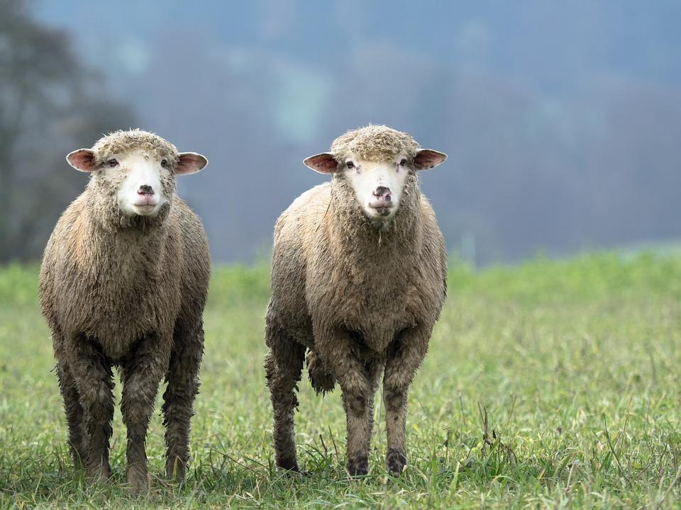 メルトン素材になりやすい羊