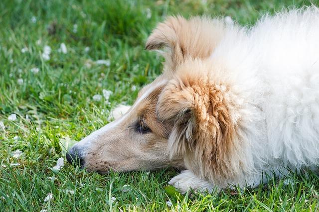 落ち込むコリー犬