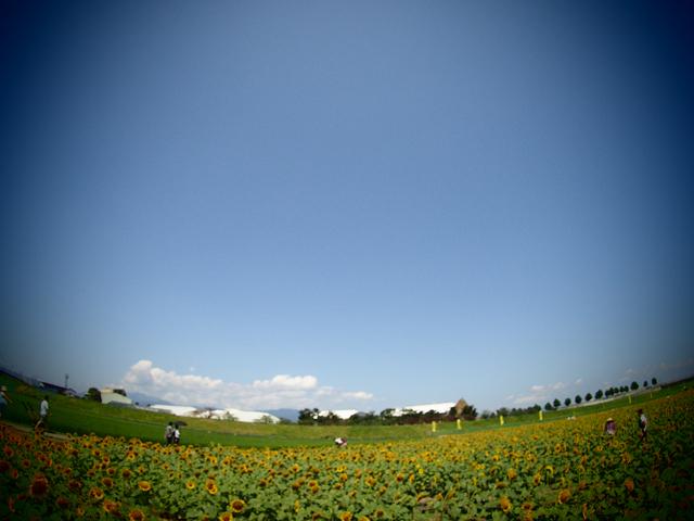 ひまわり畑 広域
