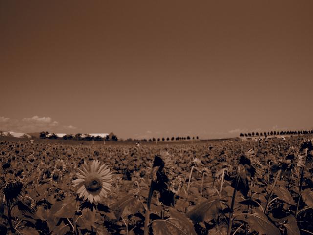 ひまわり畑 セピア